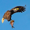 Maker:  Dale Lindenberg<br /> Title:  Eagle w/fish<br /> Category:  Wildlife<br /> Score:  11