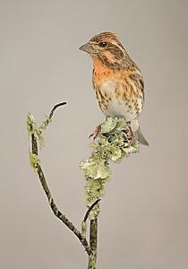 Maker:  Mike Smith Title:  Purple Finch Female Category:  Wildlife Score:  14