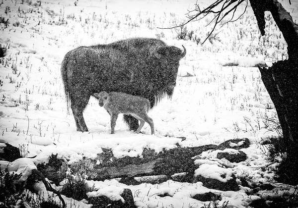 Maker:  Wayne Tabor<br /> Title:  Cow and Calf in Snow<br /> Category:  Black & White<br /> Score:  13