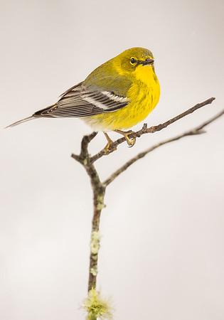 Maker:  Mike Smith<br /> Title:  Pine Warbler<br /> Category:  Wildlife<br /> Score:  12