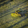 Maker:  Wayne Tabor<br /> Title:  Frog with Stripes<br /> Category:  Wildlife<br /> Score:  12