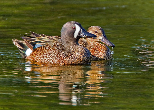 Maker:  Wayne Tabor<br /> Title:  Blue-winged Teal Pair<br /> Category:  Wildlife<br /> Score:  14