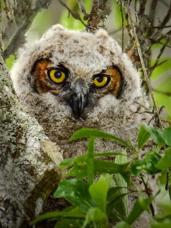 Maker:  Debbie Oxner<br /> Title:  Texas Baby Owl<br /> Category:  Wildlife<br /> Score:  13