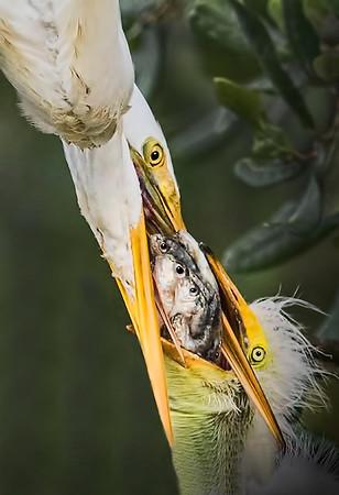 Maker:  Dale Lindenberg<br /> Title:  Egret Feeding Chick<br /> Category:  Wildlife<br /> Score:  14