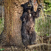 Maker: Wayne Tabor<br /> Title:  Cub with an Itch<br /> Category:  Wildlife<br /> Score:  14