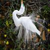 Maker:  Wayne Tabor<br /> Title:  Egret Mating Display<br /> Category:  Wildlife<br /> Score:  14
