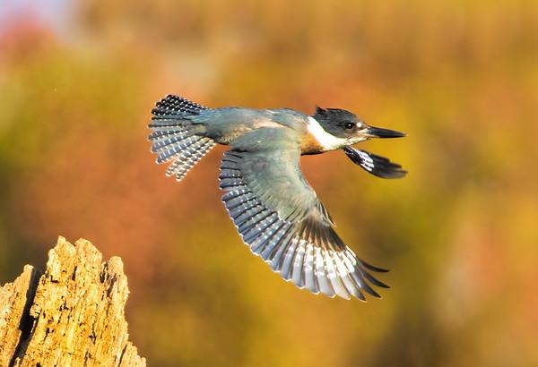 Maker:  Dale Lindenberg<br /> Title:  Kingfisher<br /> Category:  Wildlife<br /> Score:  12