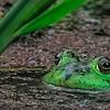 Maker:  Dale Lindenberg<br /> Title:  Frog<br /> Category:  Wildlife<br /> Score:  12
