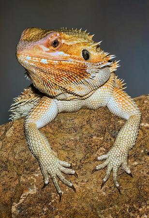 Maker:  Dale Lindenberg<br /> Title:  Lizard<br /> Category:  Macro/Close Up<br /> Score:  13