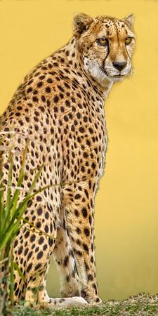 Maker:  Dale Lindenberg<br /> Title:  Pensive Cheetah<br /> Category:  Pictorial<br /> Score:  13