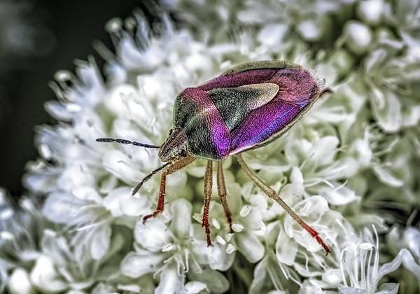 Maker:  Wayne Tabor<br /> Title:  Jewel Beetle<br /> Category:  Macro/Close Up<br /> Score:  13