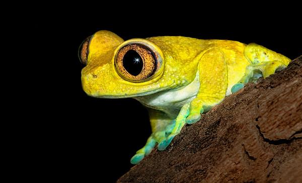 Maker:  Dale Lindenberg<br /> Title:  Big Eye Frog<br /> Category:  Macro/Close Up<br /> Score:  12