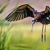 Maker:  Dale Lindenberg<br /> Title:  White Face Ibis<br /> Category:  Wildlife<br /> Score:  13