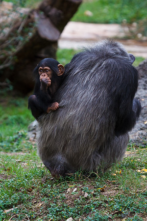 Maker: Dirk J. Sanderson<br /> Title:  Baby Chimp and Mom<br /> Category:  Pictorial<br /> Score:  12