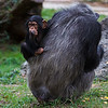 Maker: Dirk J. Sanderson	<br /> Title:  Baby Chimp and Mom<br /> Category:  Pictorial	<br /> Score:  12