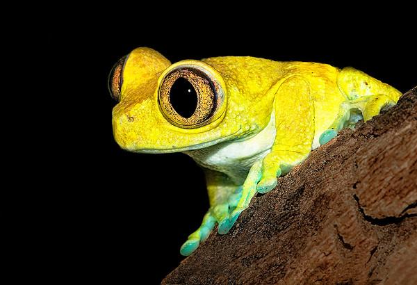 Maker:  Dale Lindenberg<br /> Title:  Tree Frog<br /> Category:  Macro/Close Up<br /> Score:  14