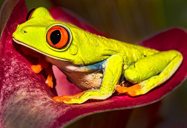 Maker:  Dale Lindenberg<br /> Title:  Red-eyed Frog<br /> Category:  Macro/Close Up<br /> Score:  12