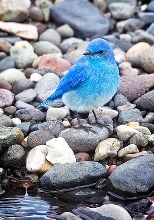 Maker:  Wayne Tabor<br /> Title:  Mountain Bluebird on Stream<br /> Category:  Wildlife<br /> Score:  12