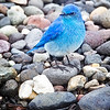 Maker:  Wayne Tabor<br /> Title:  Mountain Bluebird on Stream<br /> Category:  Wildlife<br /> Score:  12
