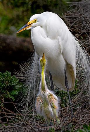 Maker:  Dale Lindenberg<br /> Title:  Egret & Chick<br /> Category:  Wildlife<br /> Score:  14