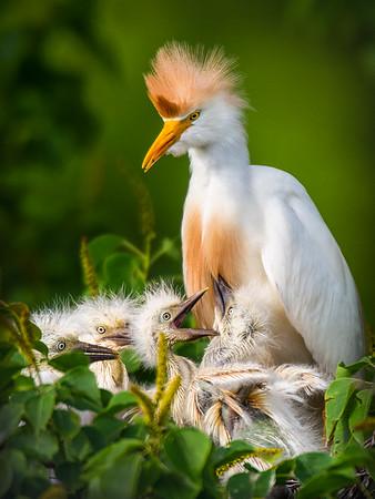 Maker:  Dwayne Anders<br /> Title:  Cattle Egret Nest<br /> Category:  Wildlife<br /> Score:  15