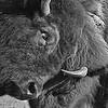 Maker:  Dale Lindenberg<br /> Title:  Bison<br /> Category:  Black & White<br /> Score:  11