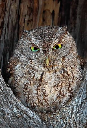 Maker:  Dale Lindenberg<br /> Title:  Screech Owl<br /> Category:  Wildlife<br /> Score:  15