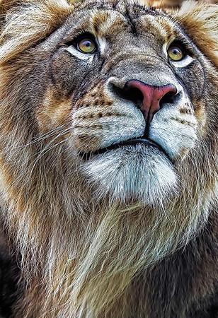Maker:  Dale Lindenberg<br /> Title: Lion<br /> Category:  Pictorial<br /> Score:  14