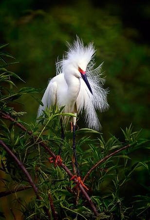 Maker:  Dale Lindenberg<br /> Title:  Snowy Egret<br /> Category:  Wildlife<br /> Score:  15