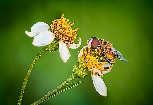 Maker:  Dale Lindenberg<br /> Title:  Bee & Flower<br /> Category:  Macro/Close Up<br /> Score:  14