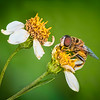 Maker:  Dale Lindenberg<br /> Title:  Bee & Flower<br /> Category:  Macro/Close Up<br /> Score:  14
