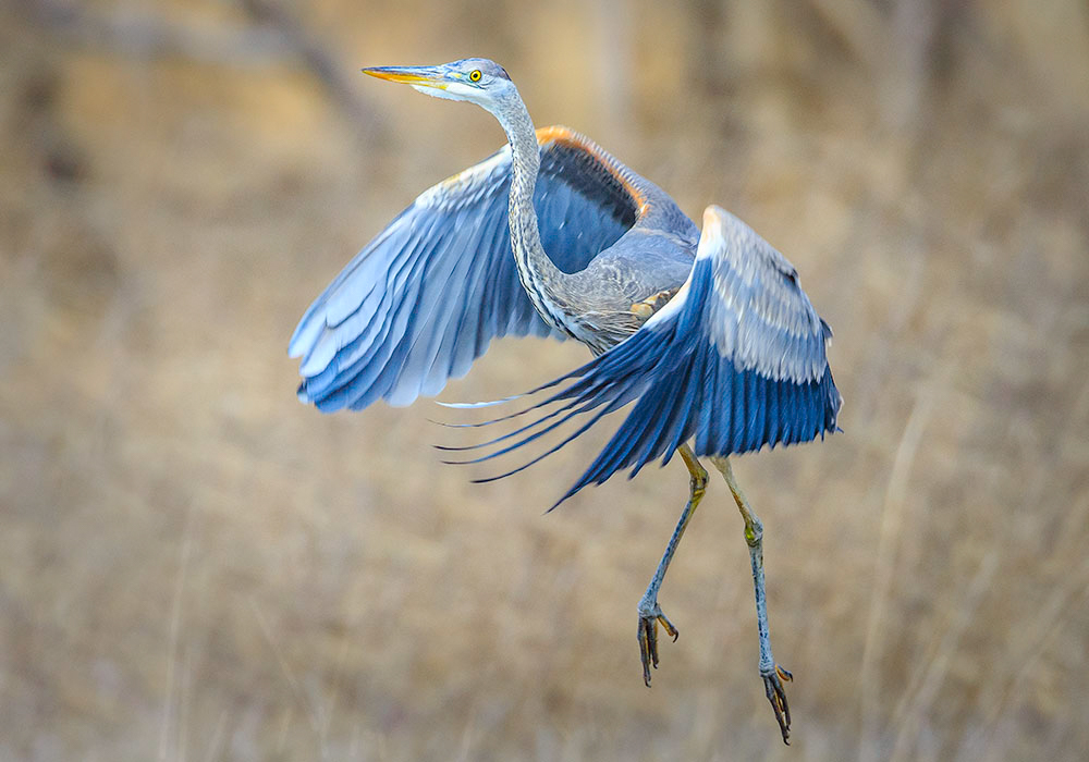 Maker:  Mike Smith Title:  Great Blue Taking Off Category:  Wildlife Score:  12
