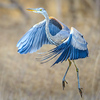 Maker:  Mike Smith<br /> Title:  Great Blue Taking Off<br /> Category:  Wildlife<br /> Score:  12