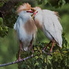Maker:  Dale Lindenberg<br /> Title:  Cattle Egret Pair<br /> Category:  Wildlife<br /> Score:  14