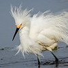 Maker:  Dale Lindenberg<br /> Title:  Snowy Wading<br /> Category:  Wildlife<br /> Score:  13