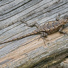 Maker:  Mike Smith<br /> Title:  Fence Post Lizard<br /> Category:  Wildlife<br /> Score:  12