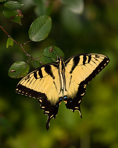 Maker:  Dirk Sanderson Title:  Eastern Tiger Swallowtail Category: Pictorial Score:  11