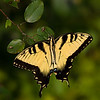 Maker:  Dirk Sanderson<br /> Title:  Eastern Tiger Swallowtail<br /> Category: Pictorial<br /> Score:  11