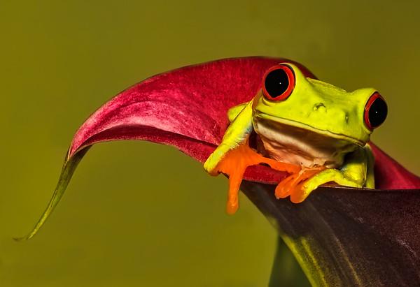 Maker:  Dale Lindenberg<br /> Title:  Red Eye Tree frog<br /> Category:  Macro/Close Up<br /> Score:  14