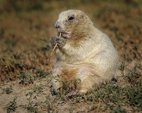 Maker:  Wayne Tabor<br /> Title:  White Prairie Dog<br /> Category:  Wildlife<br /> Score:  12
