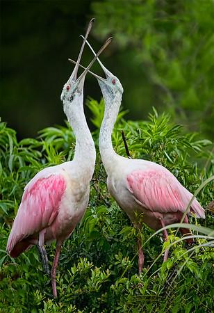 Maker:  Dale Lindenberg<br /> Title:  Roseate Courtship<br /> Category:  Wildlife<br /> Score:  13