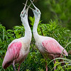 Maker:  Dale Lindenberg<br /> Title:  Roseate Courtship<br /> Category:  Wildlife<br /> Score:  13