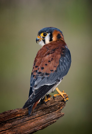 Maker:  Dale Lindenberg<br /> Title:  American Kestrel<br /> Category:  Wildlife<br /> Score:  15