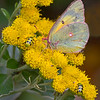 Maker:  Dale Lindenberg<br /> Title:  Pastel Butterfly<br /> Category:  Macro/Close Up<br /> Score:  13