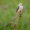 Maker:  Ted Miot<br /> Title:  Scissor-Tail Flycatcher<br /> Category:  Wildlife<br /> Score:  11