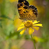 Maker:  Dwayne Anders<br /> Title:  Butterfly on Yellow<br /> Category:  Wildlife<br /> Score:  14