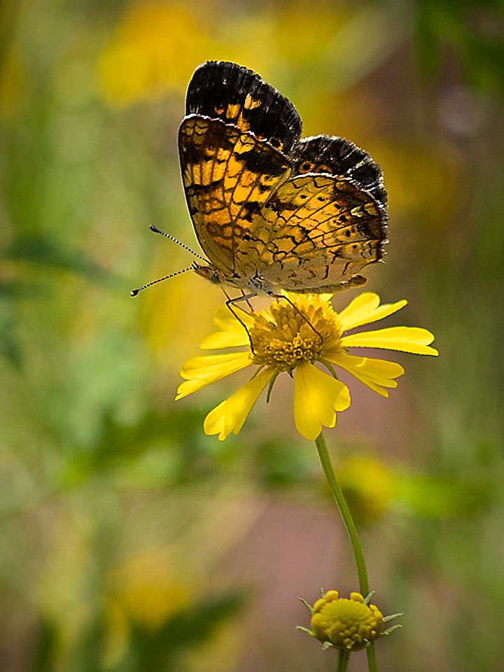 Maker:  Dwayne Anders Title:  Butterfly on Yellow Category:  Wildlife Score:  14