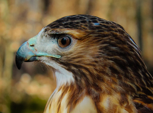 Maker:  Ted Miot<br /> Title:  Red-Tail Hunter<br /> Category:  Wildlife<br /> Score:  11