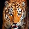 Maker:  Roger Hinton<br /> Title:  Tiger<br /> Category:  Pictorial<br /> Score:  14
