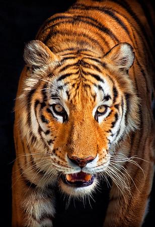 Maker:  Roger Hinton<br /> Title:  Tiger<br /> Category:  Pictorial<br /> Score:  14